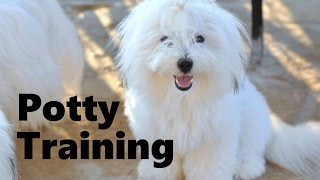 How To Potty Train A Coton de Tulear Puppy - Training Coton de Tulear - Coton de Tulear Puppies