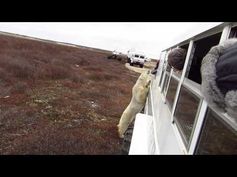 Great White Bear Tours & The Inquisitive Bear
