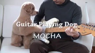 Welcome to my video. I'm a guitar player, toy poodle MOCHA. My dad ...