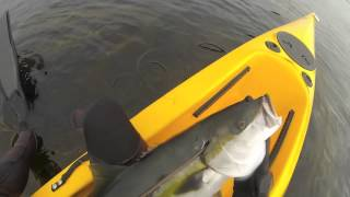 La Jolla Yellowtail Spearfishing