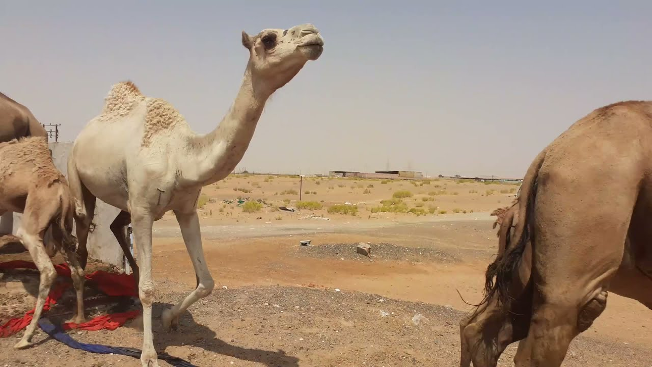 Whole family of  camel in Truck   Very dangerous   Gulf Camel