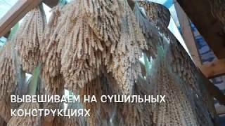 Пальмовая пыльца! Шифа - мед центр.