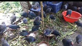 Download Coba ternak burung mandar biru dan mandar batu auto jinak semua