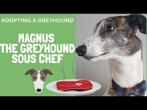 Magnus the 'Sous Chef' Greyhound