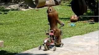 Monkey riding a bicycle! Incredible! Monkey school, Koh Lanta, Thailand
