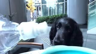 お水を欲しがる大型犬のラージミュンスターレンダー ボン爺ちゃん。 ぶ...