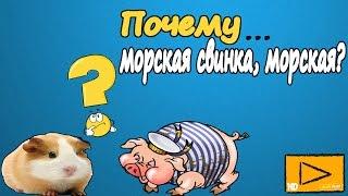 МОРСКАЯ СВИНКА /Почему морская свинка, морская? домашние животные онлайн