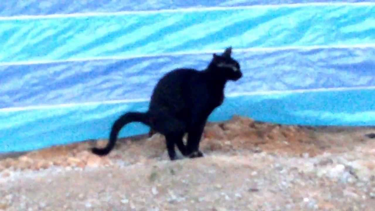 Black Cat Pooping On Soil   YouTube