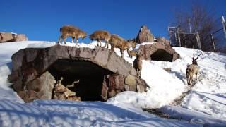 Винторогие козлы