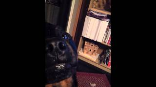 Rottweiler Growling And Showing Teeth