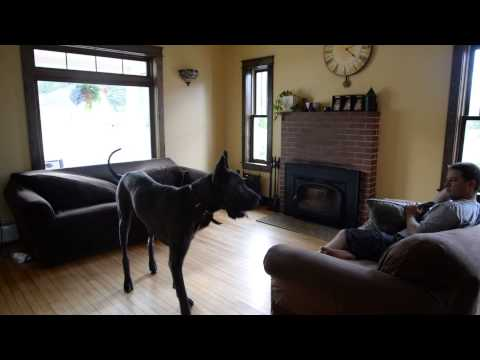 Trying to relax with a great dane