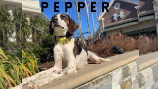 """1.5 yr old Foxhound Mix """"Pepper"""" 