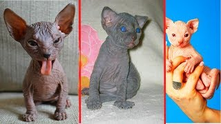 МЫ КУПИЛИ КОТЕНКА / 10 фактов о сфинксах / маленький против большого / смешные коты