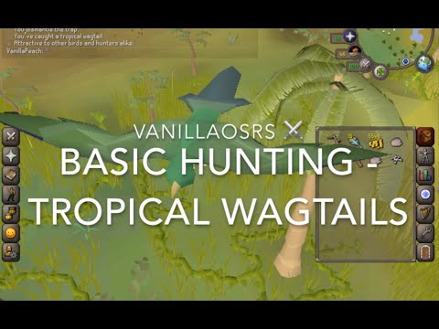 Tropical Wagtails OSRS Beginner Hunting Guide