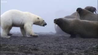 Gấu Bắc Cực với Sư Tử Biển