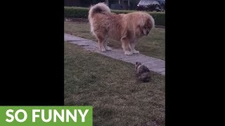 Massive Tibetan Mastiff humbled by fearless bunny rabbit