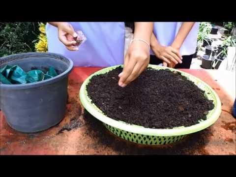 วิธีการเพาะเมล็ดผักกาดหอม