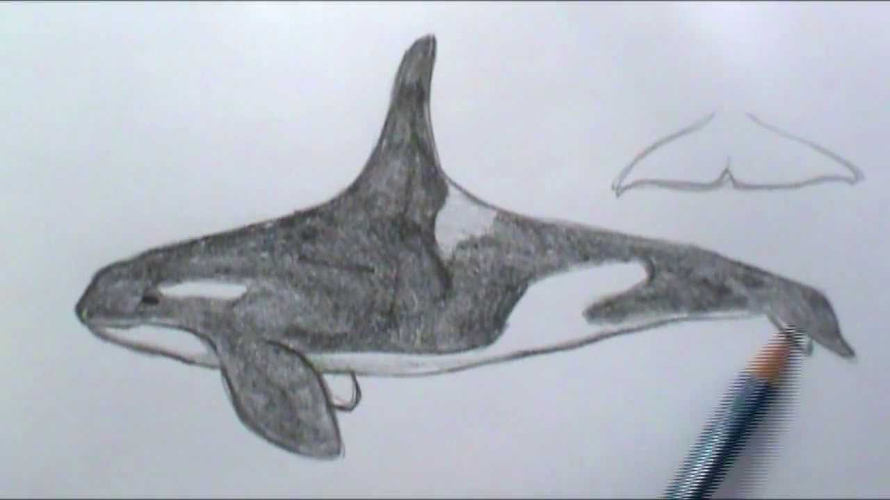 Uncategorized How To Draw An Orca Whale how to draw a basic orca whale youtube