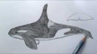 How to draw a basic Orca whale