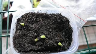 кактусы из семян ( 3 недели со дня посадки из семян)