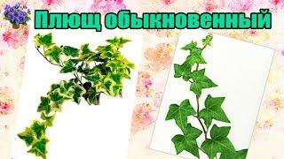 видео Плющ (Hedera)