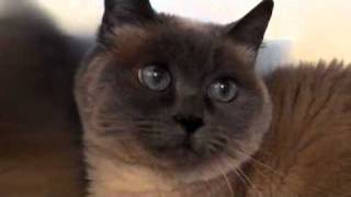 Quivering Eyes (nystagmus) in a Siamese Cat at Hillside Veterinary Clinic, Mount Vernon, Ohio