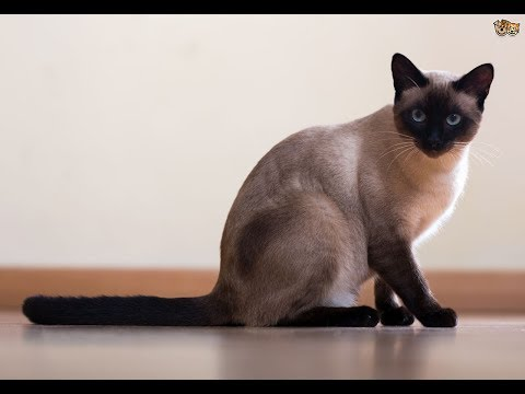 Siamese cat Dexter compilation 2018