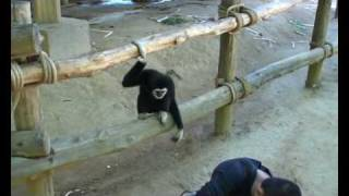 Gibbon playing with dog.