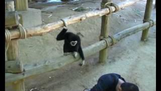 Popular Videos - Gibbon & Pets