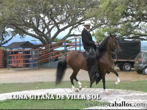 CONSUL DE GRAN DINASTIA FC - RECOPILACION Y CRIAS