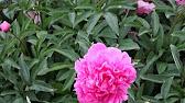 27 июн 2017. Ред грейс история пионов начинается с 5 века до н. Э. , когда был окультивирован пион молочноцветковый (paeonia lactiflora).