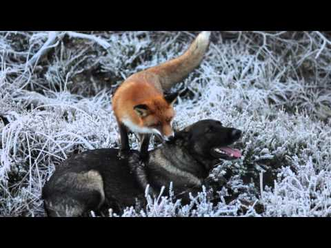 The Unlikely Friendship of a Fox and a Hound