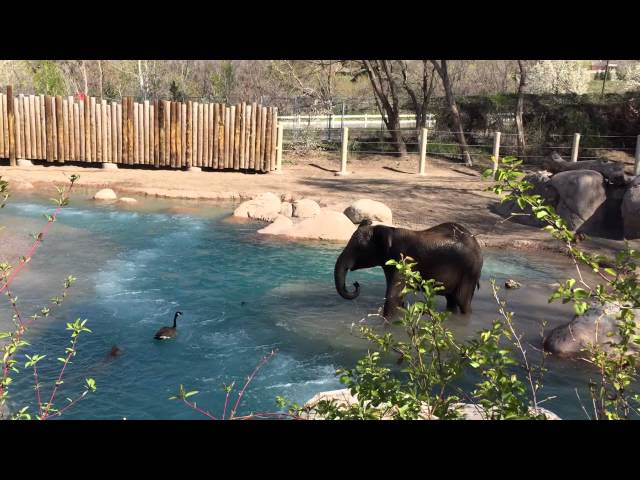 Goose challenges Zuri the elephant, and wins, at Utah's Hogle Zoo.