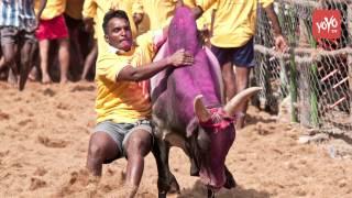 జల్లికట్టుపై RGV కామెంట్స్! #Jallikattu Protester Should be Chased by 100 Bulls RGV   YOYO TV