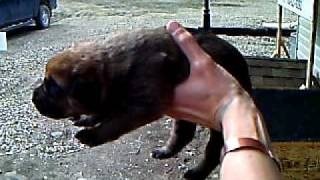 English Mastiff X Rottweiler Pup, 10 Days Old