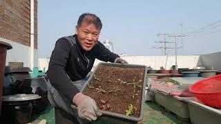 달래 수확.처제네 줄 상추상판 만들기.케일.상추.비타민…