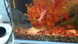 Мои аквариумы и их обитатели, раки и разные рыбки!