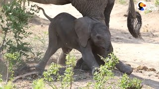 Baby Elephant Takes His First Steps