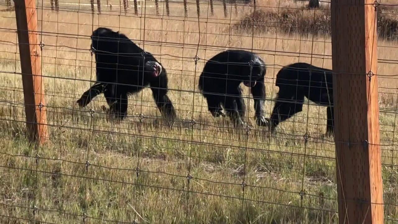 A serious walk with Jamie Chimpanzee