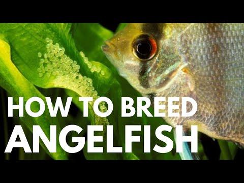 How To Breed Freshwater Angelfish (Easiest Way)