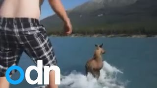 Man jumps on moose and rides across Canadian lake