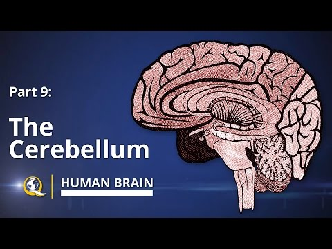 Cerebellum - Human Brain Series - Part 9