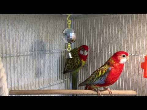 Розеллы поют птичьи песни. Parrots Rosella Sing Bird's Songs.