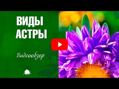 Астры 🌼 Виды и сорта цветов ✅