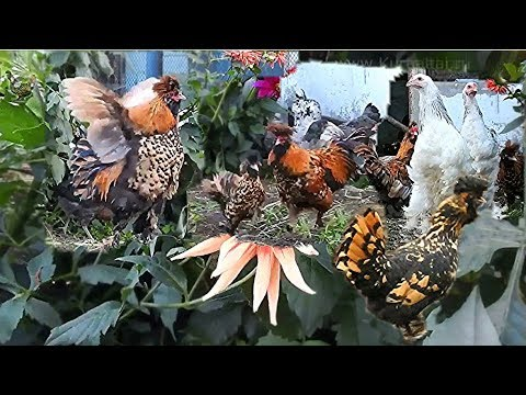 #funny Как Золотой Петушок невесту себе искал Golden Rooster looking for your favorite hen
