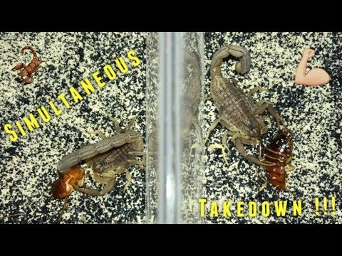 Thumbnail: Scorpion Feeding Video #11 ~ Simultaneous Takedown !!!