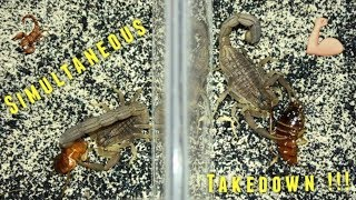 Scorpion Feeding Video #11 ~ Simultaneous Takedown !!!