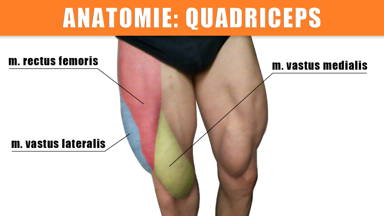 Quadriceps femoris trainieren - Dehnen - Anatomie - YouTube