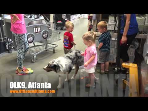 Would you like your dog to nicely greet other people? | Australian Shepherd | Atlanta Dog Training