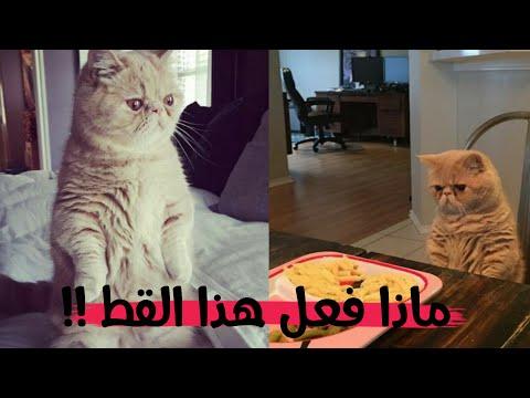 قصة هذا القط الذي يعتبر نفسه انسان .. لن تصدق ماذا يفعل !!